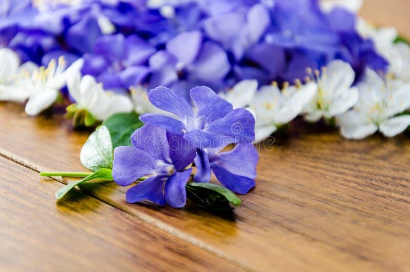 La primavera azul florece con las hojas verdes en un fondo anaranjado imagen de archivo libre de regalías