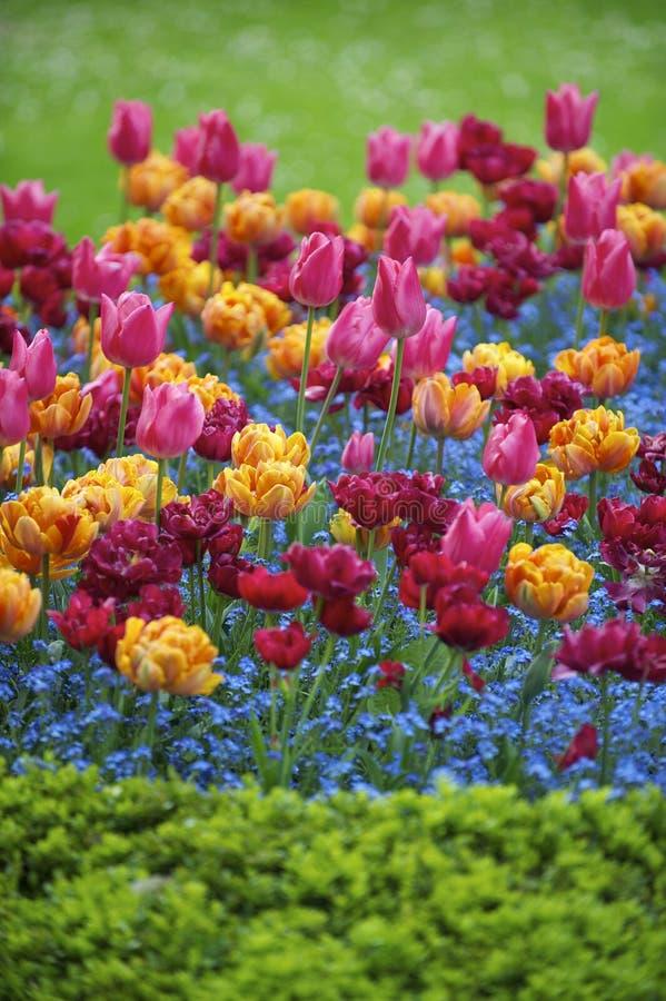 La primavera brillante florece el jardín ornamental de los tulipanes magentas anaranjados rosados coloridos imagenes de archivo