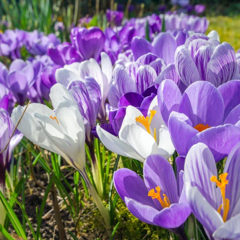 download la primavera comeing las flores preciosas en luz del sol foto de archivo - Fotos De Flores Preciosas