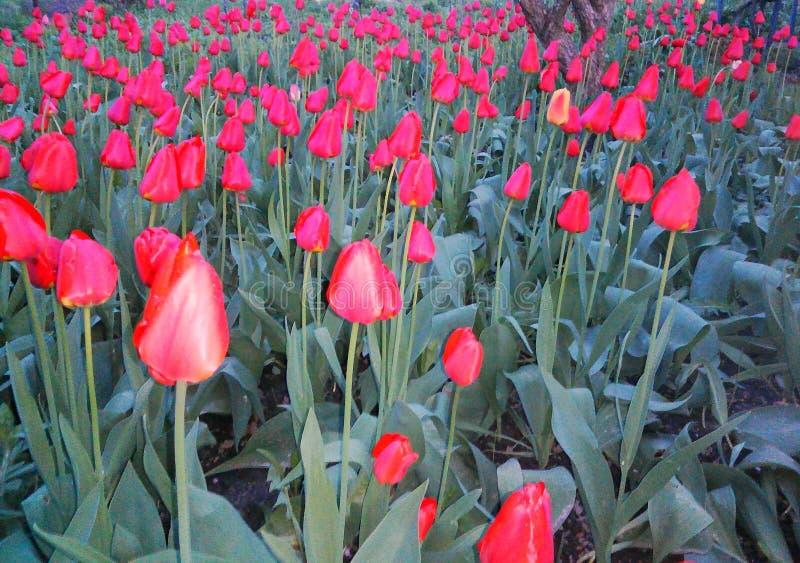 la primavera de la belleza florece felicidad de la dulzura del calor del nacimiento de la vida del jardín de los tulipanes fotografía de archivo libre de regalías