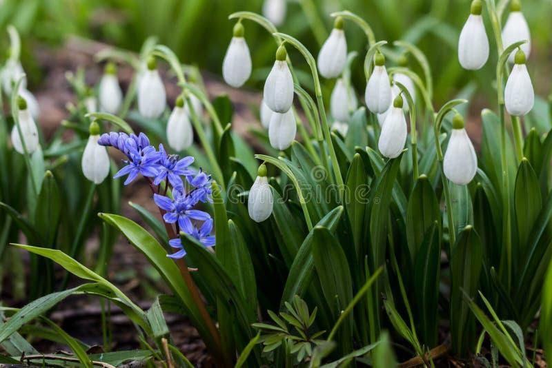 La primavera de Snowdrop florece el plicantus de Galanthus El pozo fresco del verde que complementa el Snowdrop blanco florece Sn fotografía de archivo