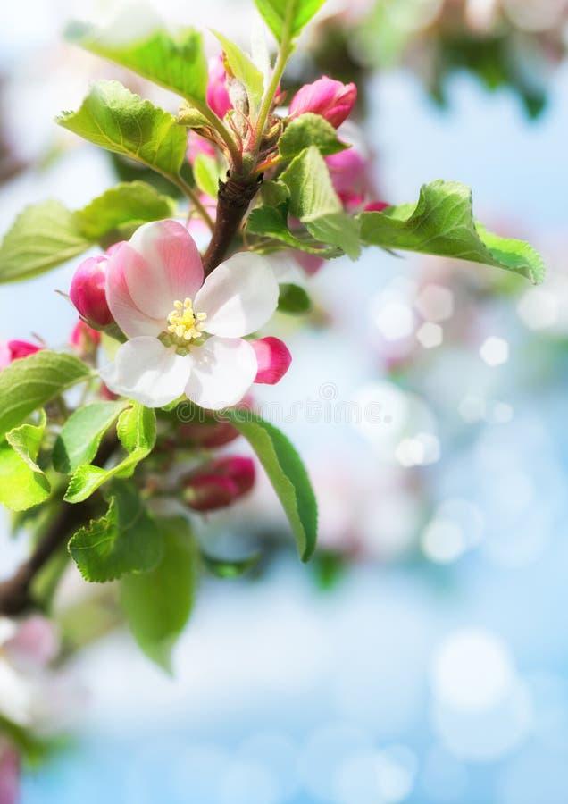 La primavera empañó el fondo con el primer en los flores de la manzana foto de archivo libre de regalías
