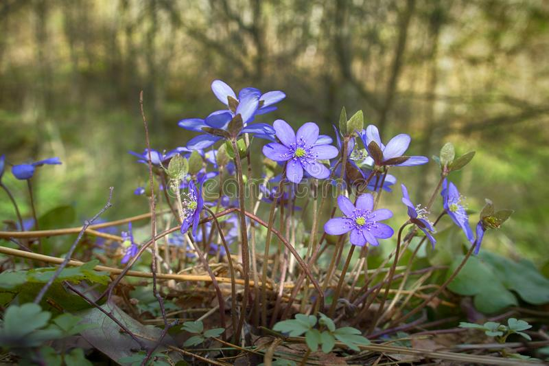 La primavera fiorisce Europa Mayflower nobile fotografia stock libera da diritti