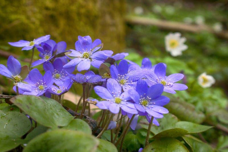 La primavera fiorisce Europa Mayflower nobile immagine stock libera da diritti