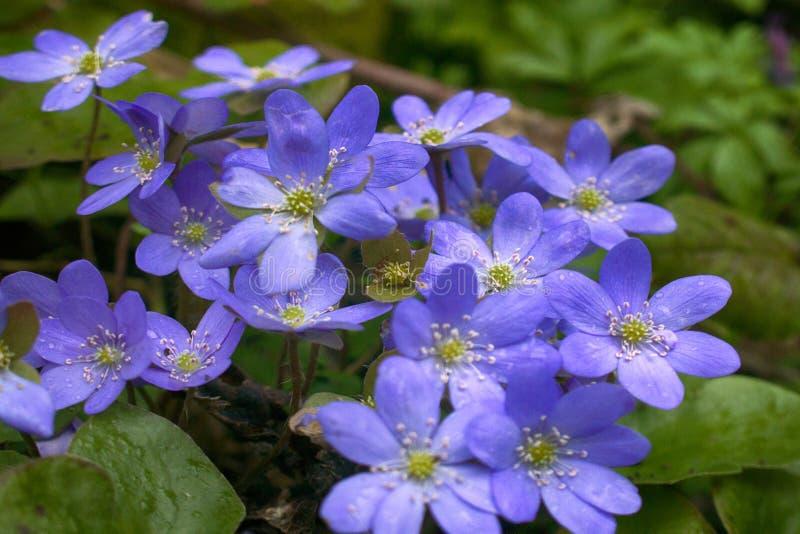 La primavera fiorisce Europa Mayflower nobile fotografia stock