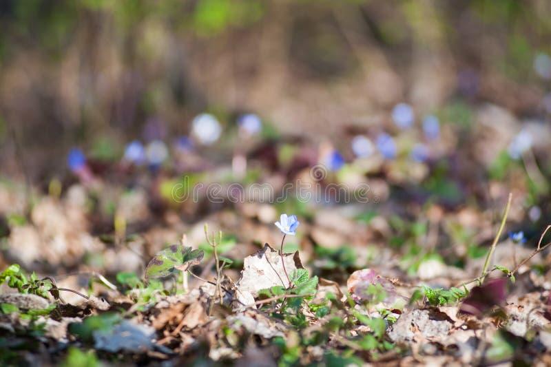 La primavera fiorisce Europa Nobilis nobili di Hepanca del mayflower Gli occhi azzurri della molla con i cigli lunghi, strappi di fotografia stock libera da diritti