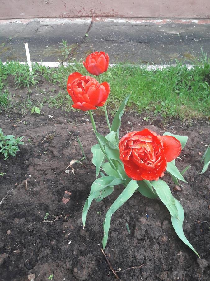 La primavera fiorisce i tulipani all'aperto dopo la pioggia fotografia stock