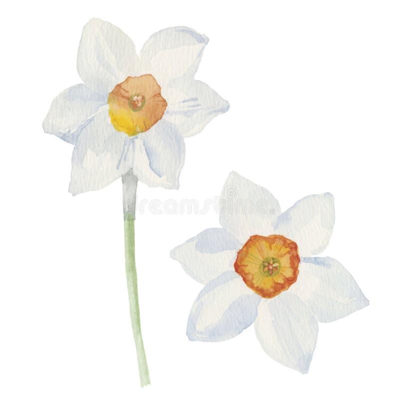 La primavera fiorisce il narciso isolato su fondo bianco Vettore, w royalty illustrazione gratis