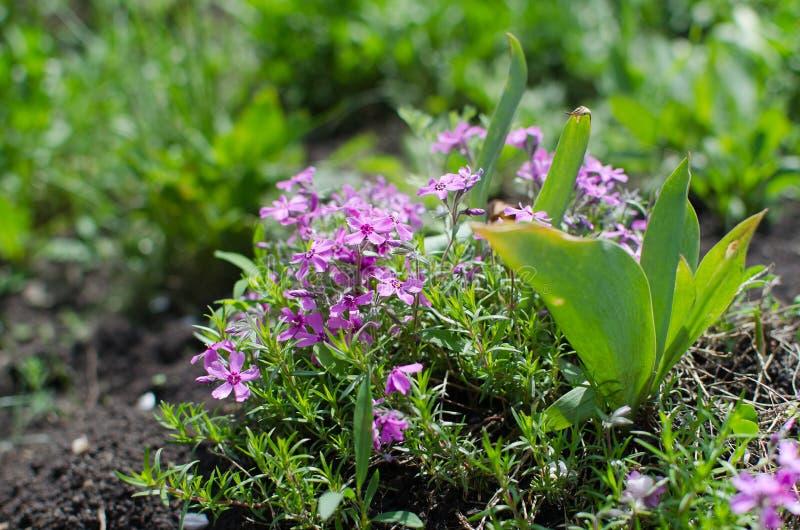 La primavera fiorisce, porpora, macro, verdi dell'estate fotografia stock libera da diritti
