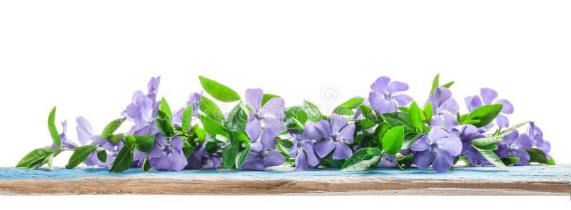La primavera fiorisce la vinca sul bordo di legno anziano fotografia stock