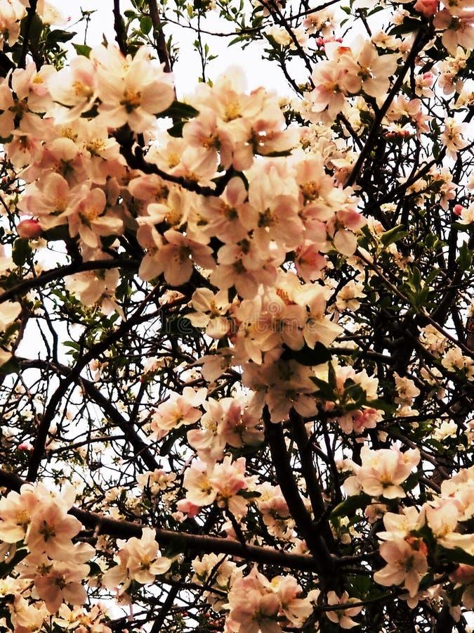 La primavera florece color rosado imagen de archivo libre de regalías