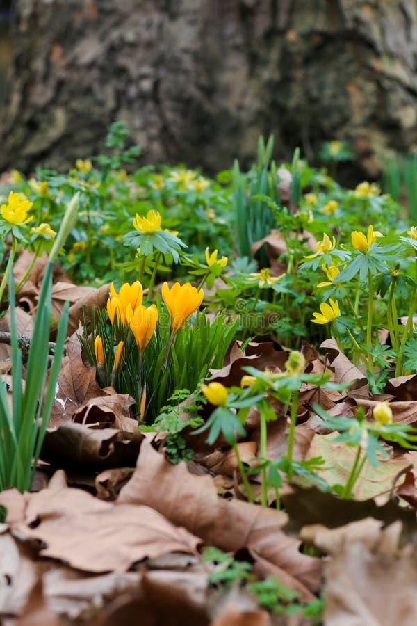 La primavera florece el azafrán, narcisos y acónitos de invierno amarillos con imagen de archivo
