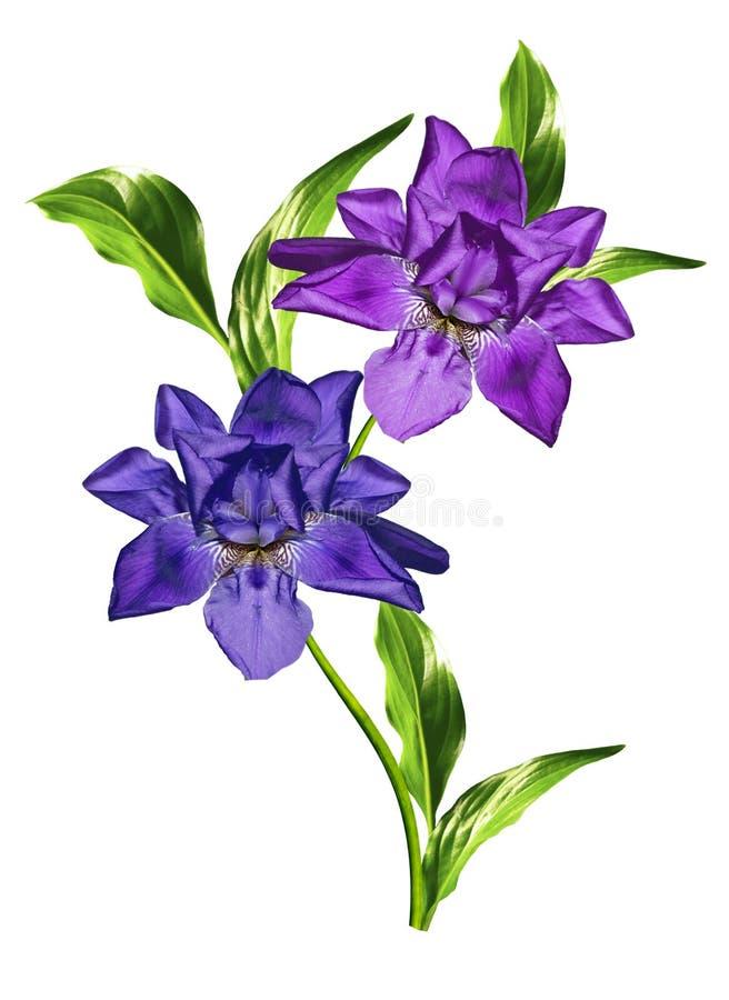 La primavera florece el iris; aislado en el fondo blanco imágenes de archivo libres de regalías