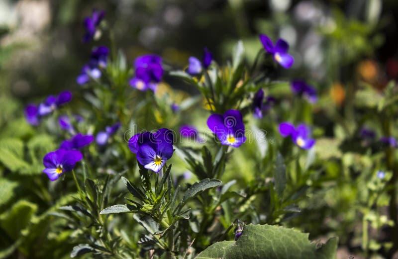La primavera florece los pensamientos en el jardín, pequeñas flores azules brillantes fotos de archivo