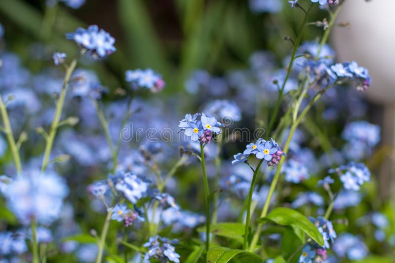 La primavera florece nomeolvides azul en jardín imagen de archivo libre de regalías