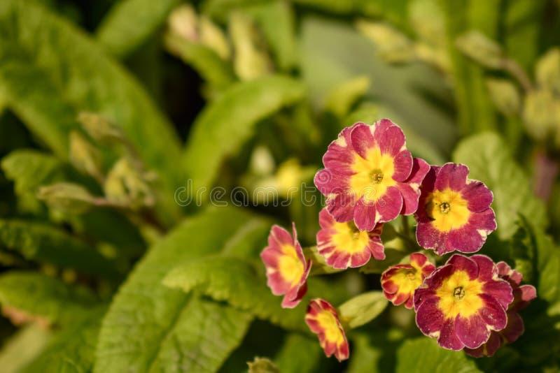 La primavera o la prímula vulgaris es la primera floración de la flor Primavera en jardín de la primavera fotos de archivo libres de regalías