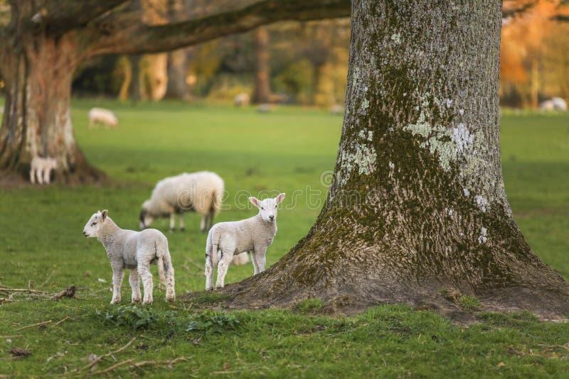 La primavera pare ovejas del bebé en un campo foto de archivo libre de regalías