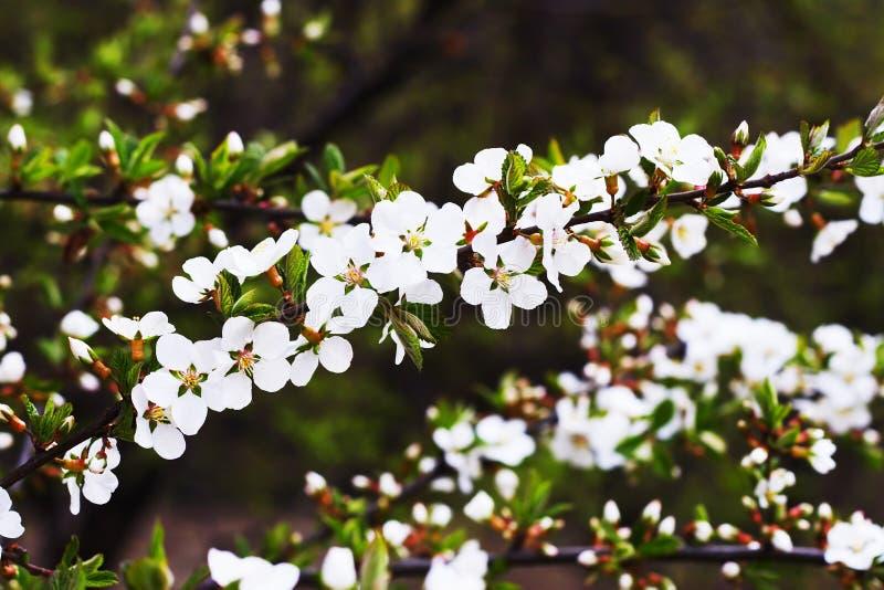 La primavera se convierte con Sakura foto de archivo