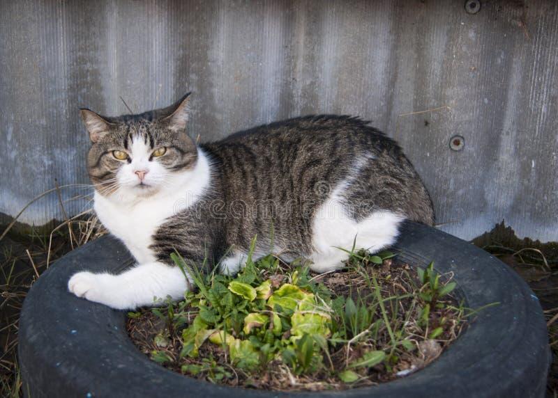 La primavera temprana, el gato blanco-gris mestizo con los ojos amarillos y una expresión contrariedad en la cara miente en una c imagenes de archivo