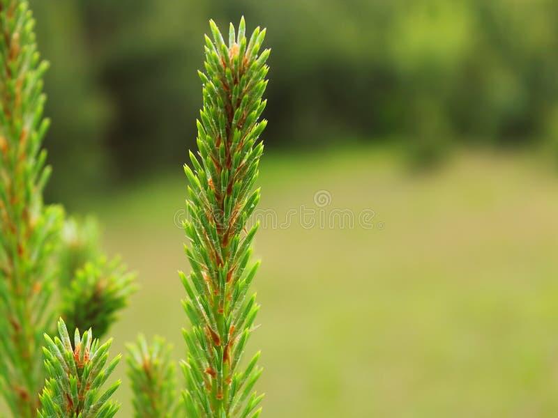 La primavera tira del primer del pino borroso foto de archivo