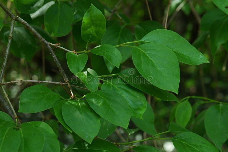 La primavera va dell'ortensia Panicled della pianta decorativa, ortensia latina Paniculata, nativo di nome in Cina del sud ed ori fotografia stock