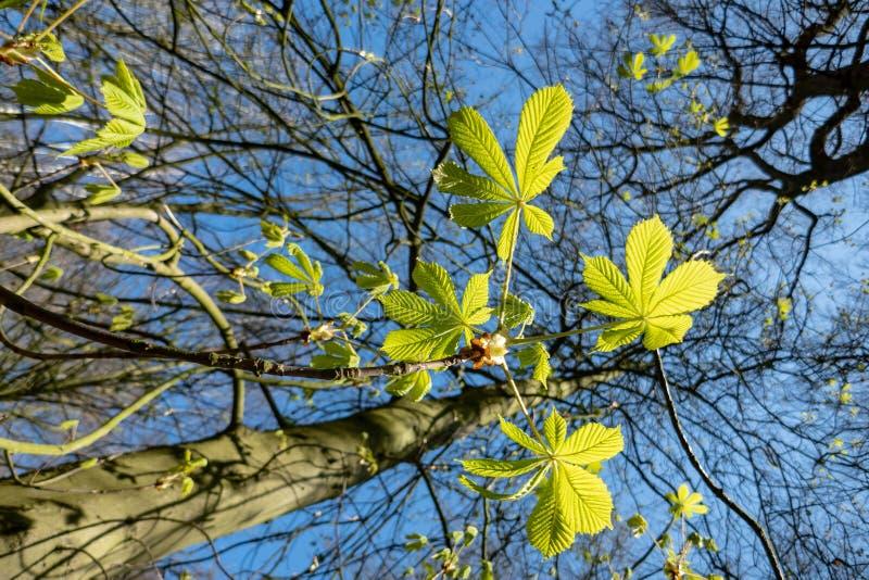 La primavera va della castagna d'India e del cielo blu fotografie stock libere da diritti