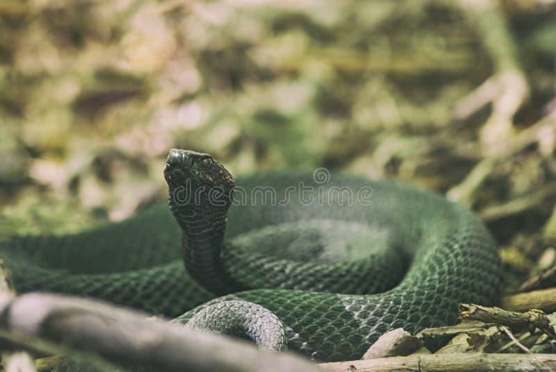 La primavera venenosa de la víbora de la serpiente se encrespó en anillos en las hojas secas del ` s del año pasado Vipera Berus foto de archivo libre de regalías