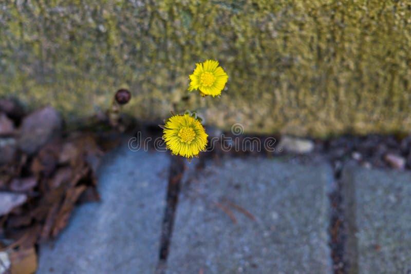 La prime madre e matrigna del fiore in molla in anticipo Fiore giallo fotografia stock libera da diritti