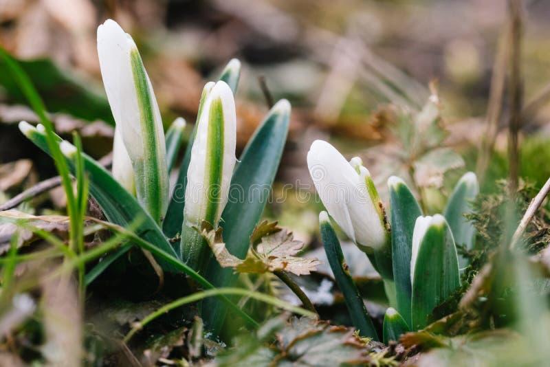 La primera flor de la primavera conocida como nivalis de Galanthus del snowdrop imagenes de archivo