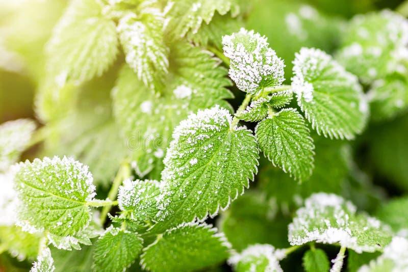La primera helada de tierra cubrió las hojas verdes frescas de la ortiga por mañana temprana del otoño Acto estacional de la natu fotos de archivo libres de regalías