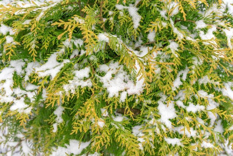 La primera nieve miente en las ramas verdes y amarillas del thuja A fotografía de archivo