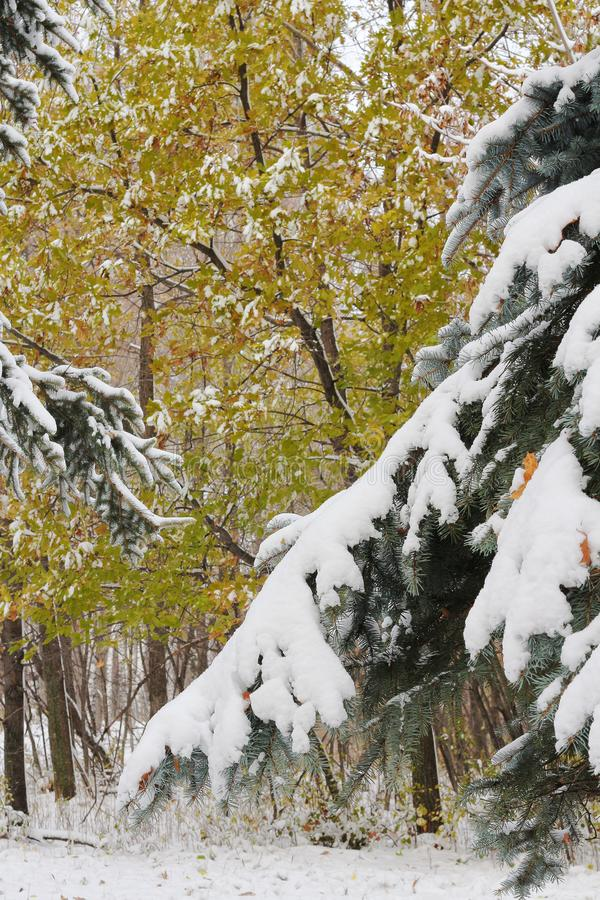 La primera nieve miente en los abetos y en las ramas de robles imagenes de archivo