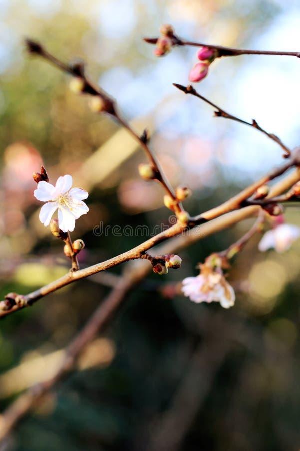 La primera primavera de la abertura floral del brote florece en el fondo de los árboles fotografía de archivo libre de regalías