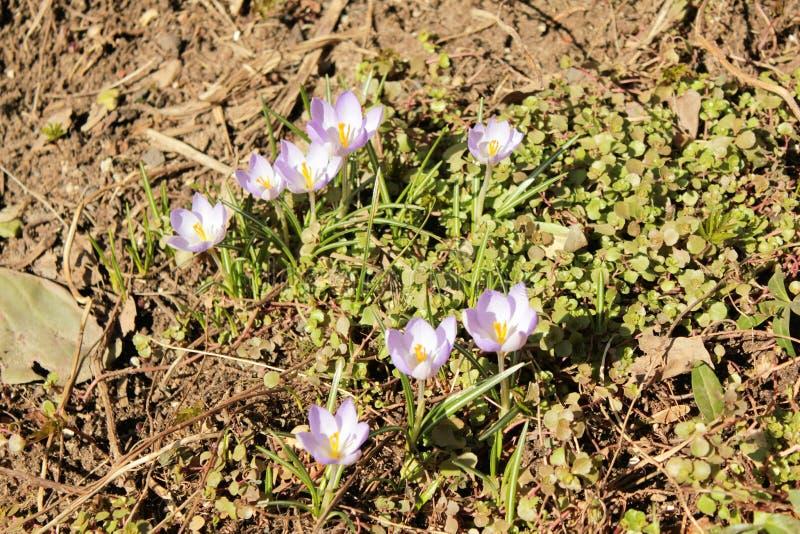 La primera primavera florece el azafrán imagenes de archivo