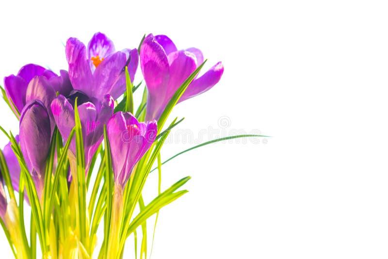 La primera primavera florece - el ramo de azafranes púrpuras imagenes de archivo