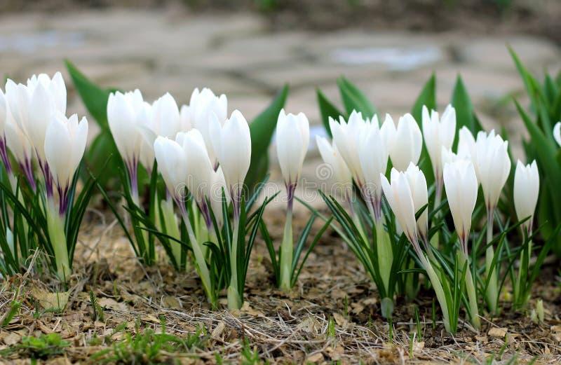 La primera primavera florece las azafranes blancas floreció imagen de archivo
