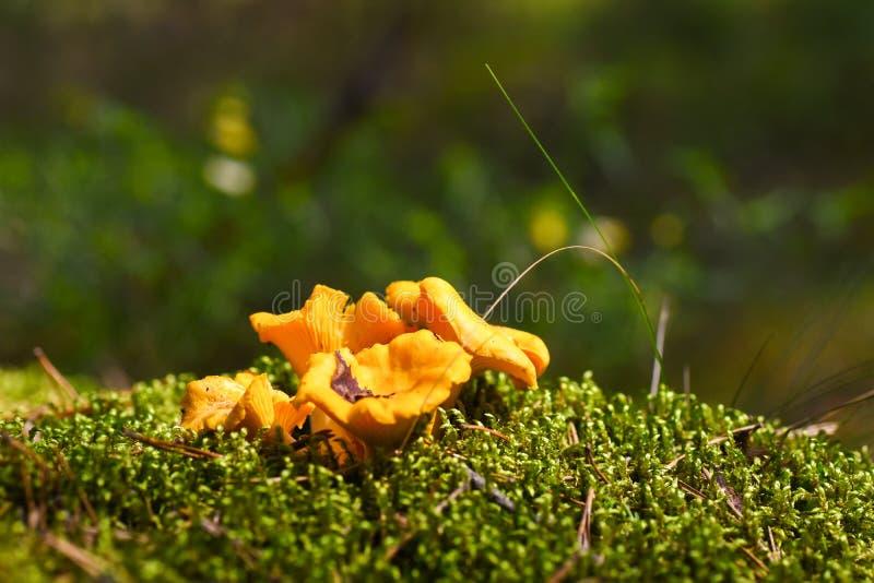 La primera seta fungosa comestible joven crece en musgo en el bosque fotos de archivo