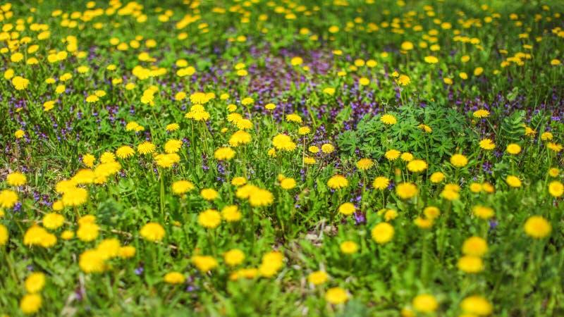 La profondeur du champ a tiré - le pré de ressort avec le dandelio jaune photo libre de droits