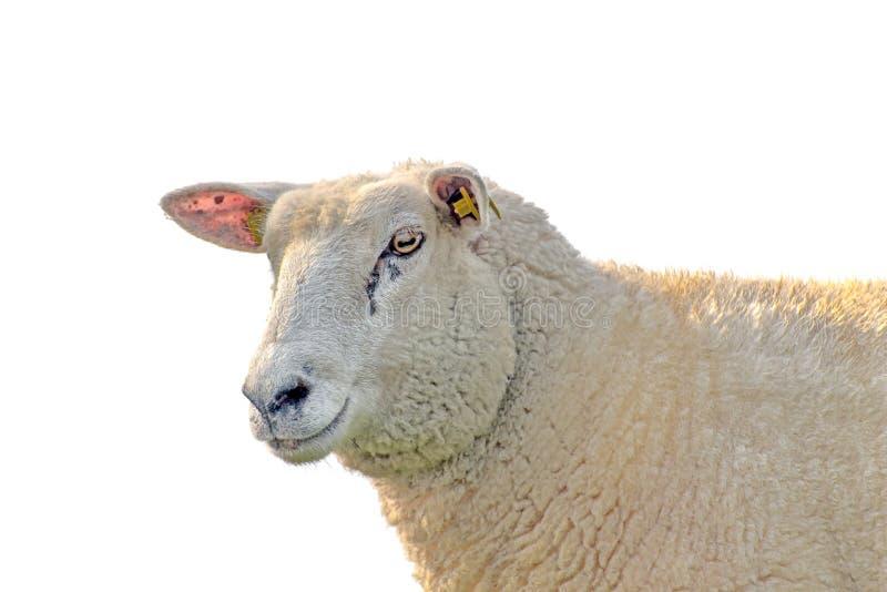 la profondità eyes le pecore poco profonde del ritratto del fuoco del campo immagine stock libera da diritti