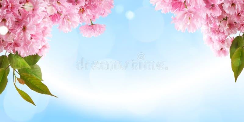 La progettazione luminosa fresca del fondo della molla con il fiore di ciliegia fiorisce e foglie fotografia stock libera da diritti