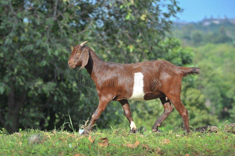 La promenade de chèvre sur l'herbe photos stock