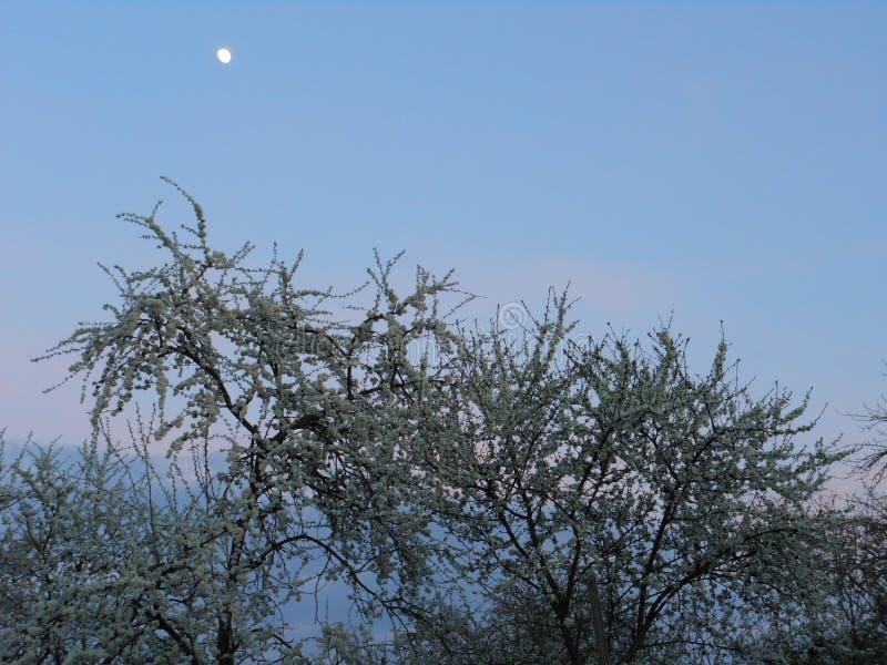 La prugna che sboccia contro il cielo di sera fotografie stock libere da diritti