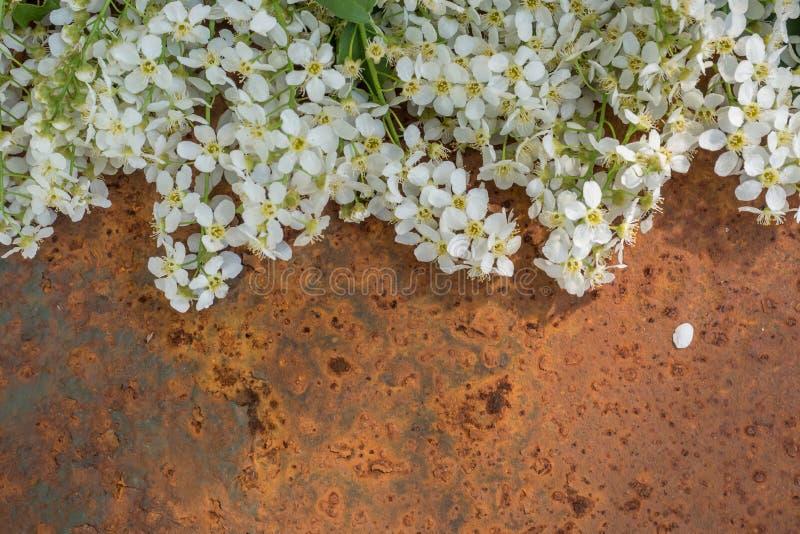 La prugna di fioritura bianca si ramifica su vecchio fondo arrugginito Posto per lo spazio della copia del testo fotografie stock libere da diritti
