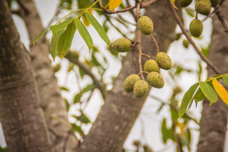 La prugna di maiale verde organica (pinnata dello Spondias) fruttifica sull'albero Spondi fotografie stock libere da diritti