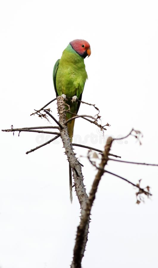 La prune a dirigé le perroquet photo libre de droits