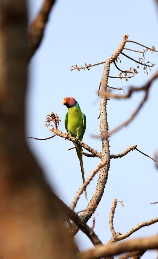 La prune a dirigé le perroquet image libre de droits