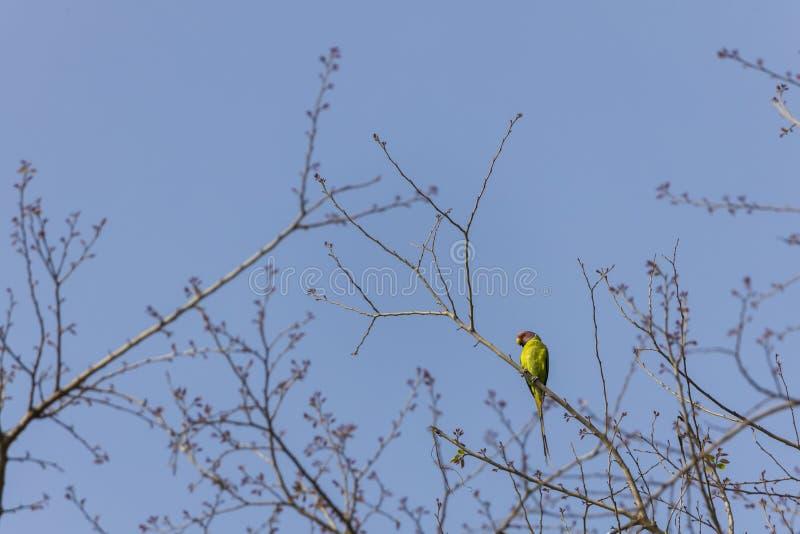 La prune a dirigé la perruche étant perché sur une branche d'arbre chez Jim Corbett le parc que national a repéré pendant une jun photographie stock libre de droits