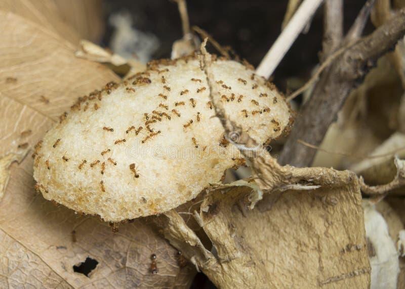 la puce de nid de fourmi mangent portent le concept animal de maison d 39 insecte photo stock. Black Bedroom Furniture Sets. Home Design Ideas