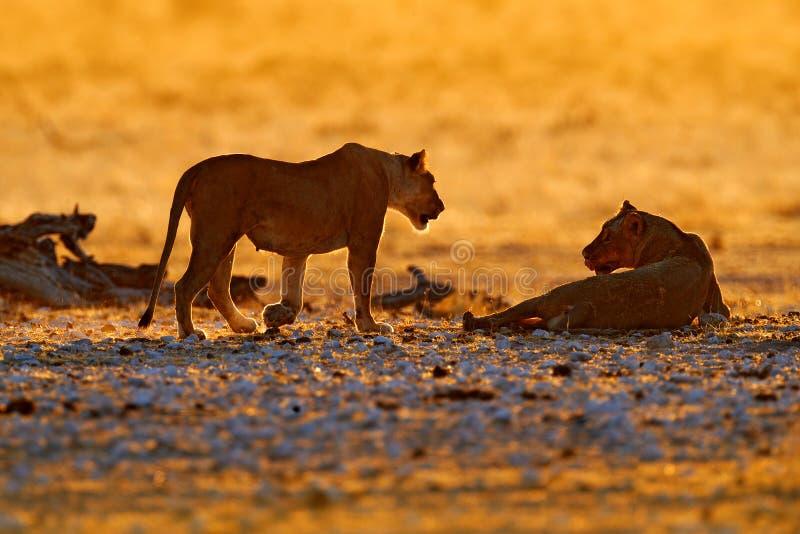 La puesta de sol naranja nocturna en África. Leones, retrato de dos leones africanos, Panthera leo, detalle de grandes animales,  imágenes de archivo libres de regalías