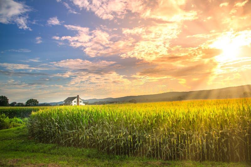 La puesta del sol vibrante en campo de maíz con el sol irradia foto de archivo